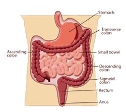 Diagram of the large bowel and colon